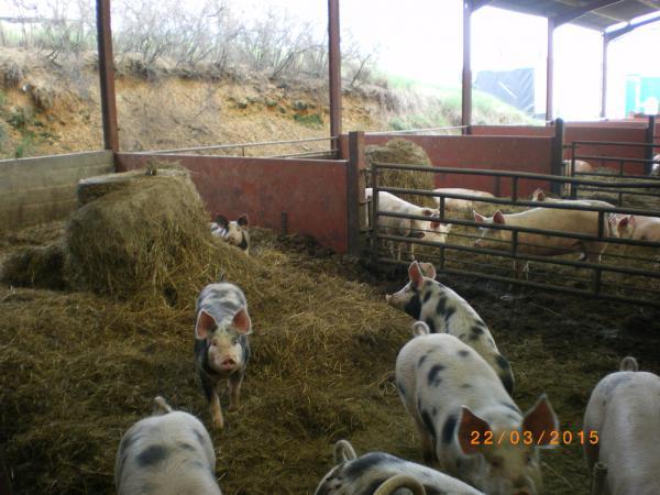les porcs de la ferme bio de They mangent du foin